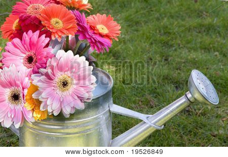 gerber daisy bouquet in watering can on the lawn