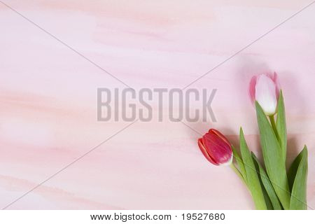 red and pink tulip on pastel watercolor background for spring