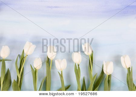 white tulips on blue sky painted watercolor background