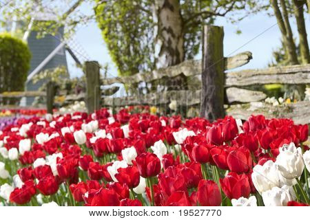 red & white sunlit tulips with windmill and fence - narrow DOF - focus on front flowers