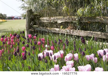 pink and purple tulips by fence in cultivated landscaped garden