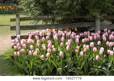 pink and white tulips by old fence in cultivated landscaped garden