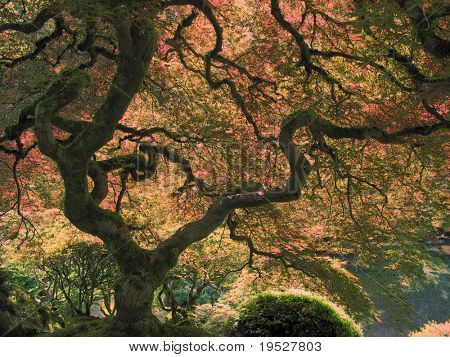 beautiful japanese maple tree - backlit leaves, fall colours, shaped branches