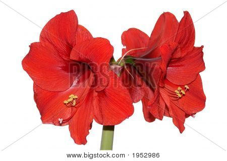 Amaryllis Clump2