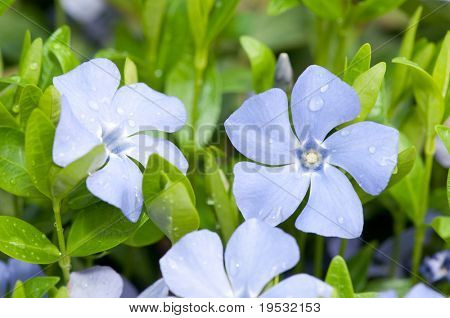 Vinca minor with dew closeup flowers