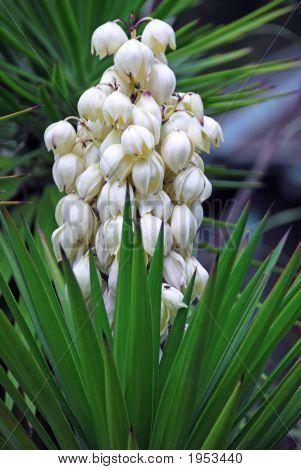 Yucca Baccata Flower