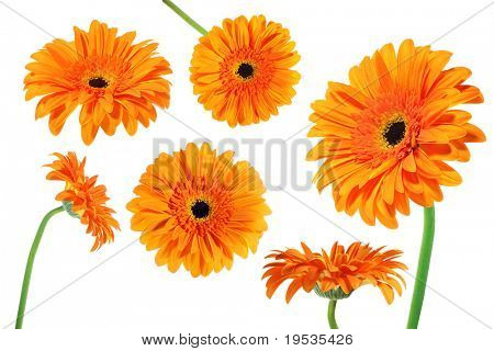 Flowers set of gerber isolated on white background