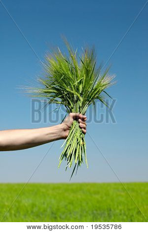 Human  hand holding bundle of the green wheat ears on blue sky background