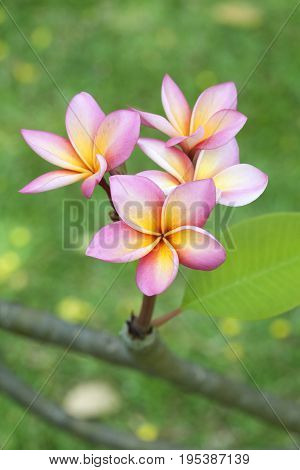 Close up of Frangipani Flowers on garden