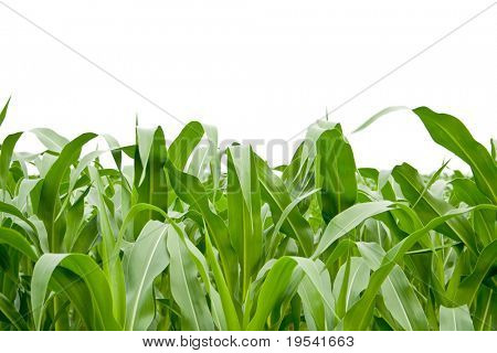 corn grass on the white backgroubds