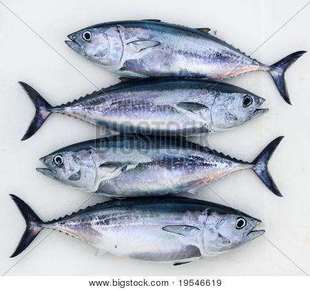 vier Bluefin-Thunfisch, Thunnus Thynnus fangen hintereinander