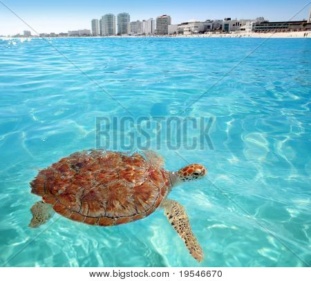 Green sea Turtle Caribbean sea surface Cancun Mexico Chelonia mydas