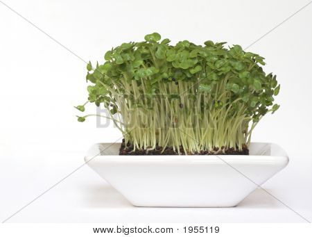 Bowl Of Garden Cress