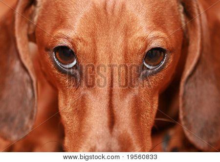 Badger-dog closeup
