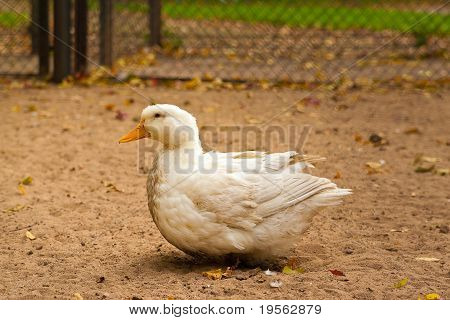 White Goose On A Ground