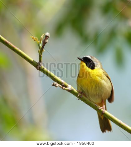 Cute Yellow Masked Bird