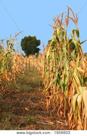 Rows Of Dead Crops