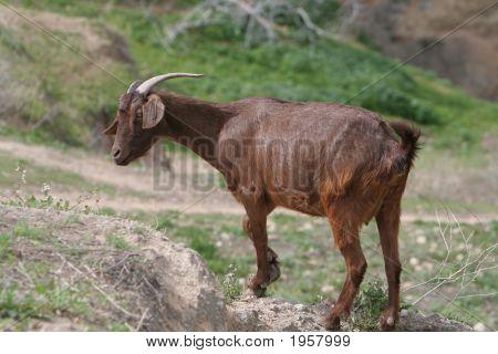Goat Grazes On Mountain