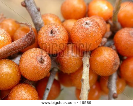 Sea Buckthorn Berries 01
