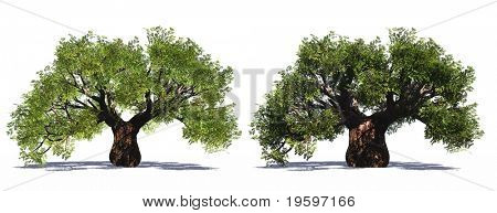High resolution old baobab trees isolated on white in summer