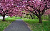 stock photo of cherry blossom  - Cherry Blossom Path - JPG