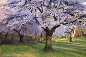 stock photo of cherry-blossom  - Cherry Blossom Forest - JPG