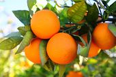 branch orange tree fruits green leaves in Valencia Spain