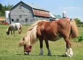 Miniature Horses On A Farm