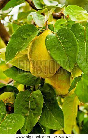 Fresh Fruit On The Tree