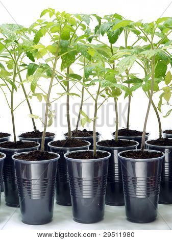 Home-grown tomato sprouts shot over white background