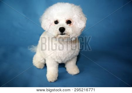 poster of Bichon Frise dog. A small female bichon frise dog portrait on a blue seamless background. Mans best