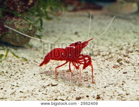 Red-Shrimp