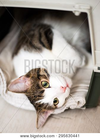 poster of A Cat Looking Up, Animal Portrait. Cute Tabby Cat Sitting In A Travel Crate And Look Sideways