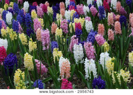 Hyacinths In Spring Garden