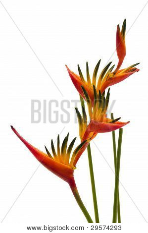A Bird Of Paradise Flower, Isolated On White