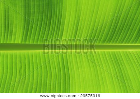 background texture of banana leaf for your design