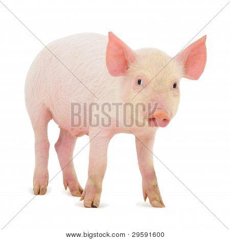 Schwein auf weiß