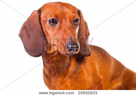 Dachshund Dogs On  Isolated  White
