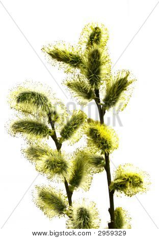 Branch Pussy-Willow