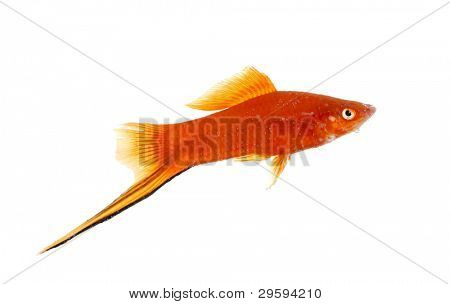 Goldfish closeup in water isolated on white