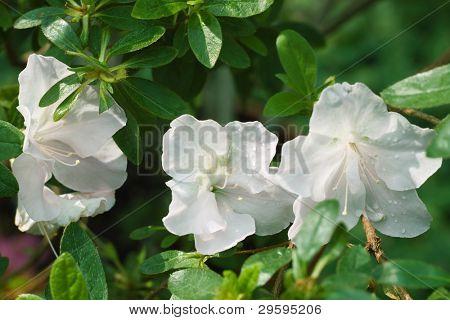 three white azalea in the background of foliage