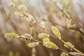 Spring Branch Of Willow With Buds.spring Background With Pussy-willow Branches With Catkins poster
