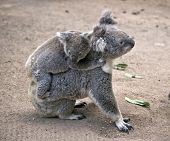 The Koala Has Her Joey On Her Back poster