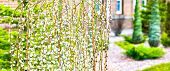Pussy Willow Branches With Catkins. Blooming Spring Flowers. Blossom Salix Caprea Kilmarnock. Nature poster