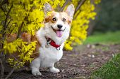 Happy Purebred Welsh Corgi Dog   Is Standing In A Blooming Beautiful Colorful Trees In Spring In The poster
