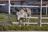 Mule Or Gray Donkey Behind The Bars Of The Enclosure In Which He Is Locked Up In An Outdoor Farm poster