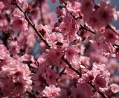 Bee On A Pink Cherry Blossoms. Cherry Flowers Blossoming In The Springtime. Pink Cherry Blossom In F poster