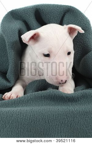 White Bull Terrier Puppy Under A Green Blanket