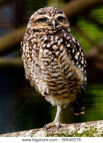 Burrowing Owl standing on one leg