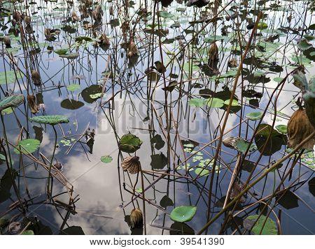 Faded Lotus Pond
